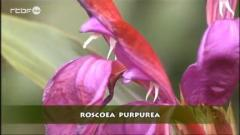 Francis Peeters - Roscoea purpurea
