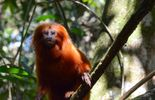 Terres sauvages en danger : Les tamarins lions dorés