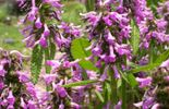 Francis Peeters - Stachys officinalis 'Hummelo'