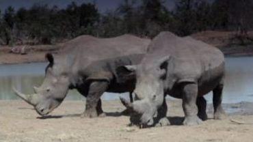 Le rhinocéros en danger