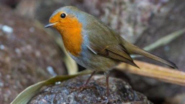 Oiseaux de nos jardins les granivores sont en danger for Oiseaux des jardins belgique