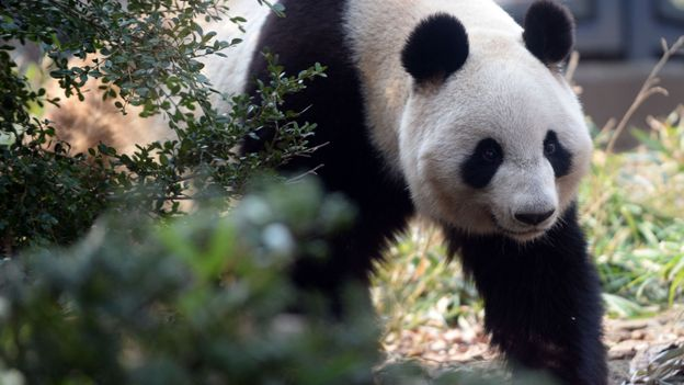 pandas pairi daiza riverains inquiets de l 39 augmentation de visiteurs rtbf regions. Black Bedroom Furniture Sets. Home Design Ideas