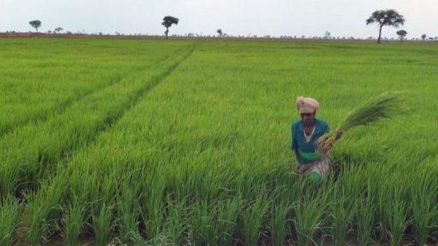 Une Ethiopienne travaille dans un champ de riz le 22 mars 2012